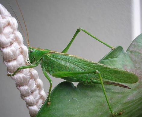 Zöld lombszöcske eszik